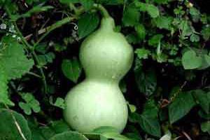 Лагенария (бутылочная тыква обыкновенная)