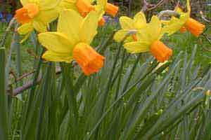 Нарцисс цикламеновый