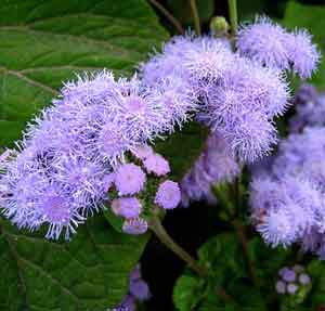 ageratum_houston.jpg