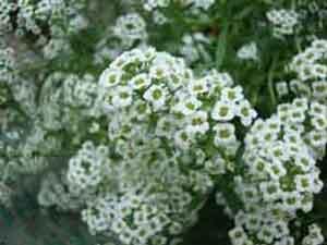 Алиссум приморский