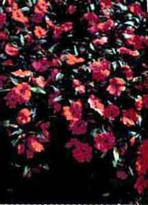 Бальзамин новогвинейский (гибридный);