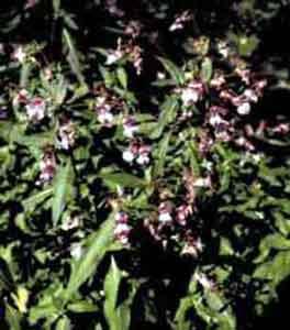 Бальзамин железковый