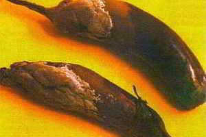 Белая гниль, серая гниль - болезни баклажанов