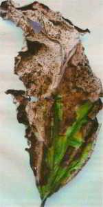 Признаки вертицилезного  увядания на листьях