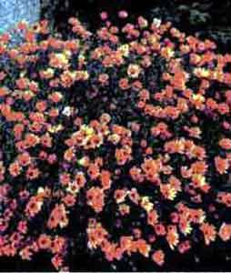 Диморфотека (золотоцвет)
