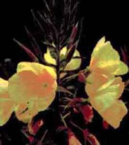 Энотера двулетняя (ослинник)