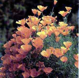Эшшольция калифорнийская (калифорнийский мак)