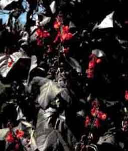 Фасоль огненно-красная (бобы турецкие)