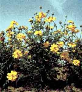 Космея серно-желтая