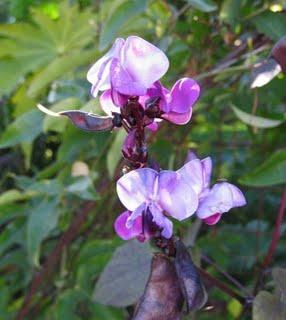 Лаблаб пурпурный