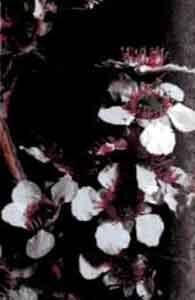 leptospermum.jpg