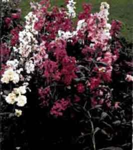 Левкой садовый (маттиола седая)