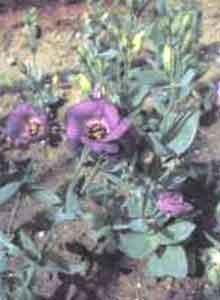 Лизиантус Русселиана (эустома крупноцветковая)