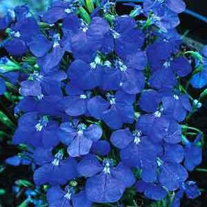 Лобелия синяя
