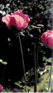 Мак снотворный (садовый)