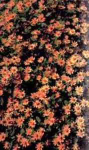 Мелаподиум золотисто-желтый