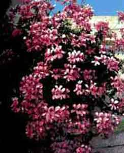 pelargonium_peltatum.jpg