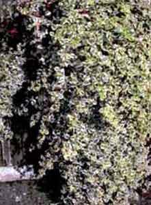 Плектрантус Форстера (мольное дерево)