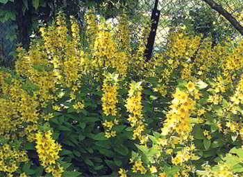 Агрессивные растения в саду