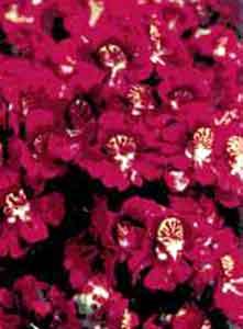 Шизантус гибридный