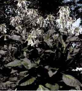 Табак лесной