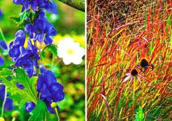 Фиолетово-синие цветки борца Кармихеля
