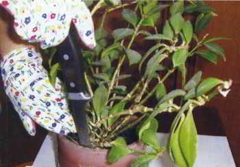 Пересадка комнатных цветов и растений весной