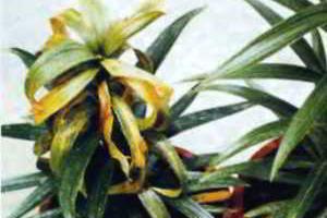 Нематоды комнатных растений:  стеблевая, листовая, корневая (галловая)