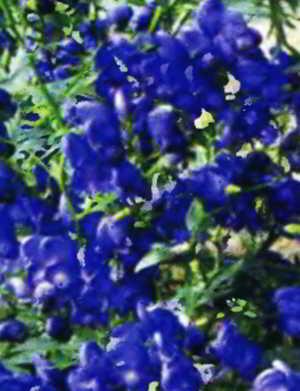 фото аконит синий