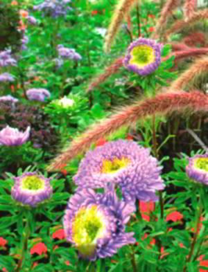 Голубые садовые астры (Callistephus chinensis) и перистощетинник