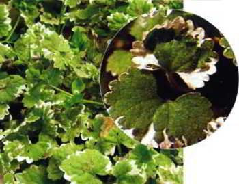 Почвопокровные растения -  будра плющевидная