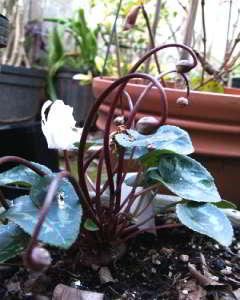 Цикламен выращивание из семян