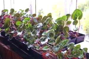 Цикламены из семян