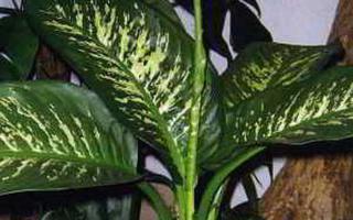 Диффенбахия — вредное ли это растение