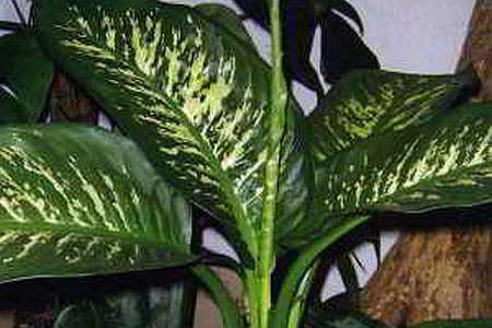 Диффенбахия - вредное ли это растение