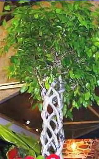 Деревце фикуса с оригинально переплетенным стволом