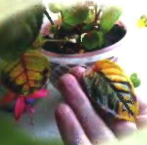 У фуксии желтеют листья