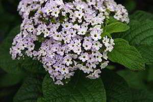 Гелиотроп — цветок моей мечты