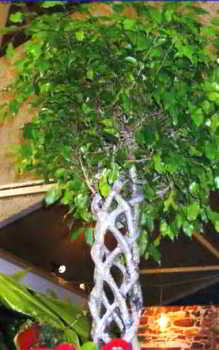 деревцо фикуса с оригинально переплетенным стволом