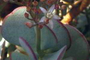 Толстянка древовидная, крассула Crassula, денежное дерево, уход, почему не цветет