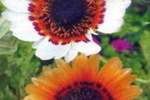 Красивые садовые цветы - венидиум, тысячелистник, сальпиглоссис