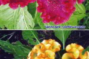 Красивые садовые цветы - целозия и перилла
