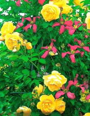 Махровая плетистая роза в паре с клематисом