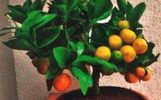 Комнатный мандарин уход