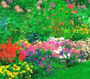 Долгоцветущие растения великолепно выглядят вдоль дорожки или в миксбордере