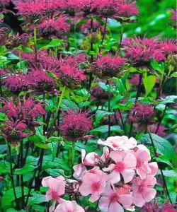 Цветки монарды
