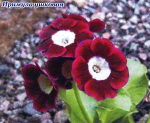 Примула многолетняя садовая, выращивание и уход, сорта
