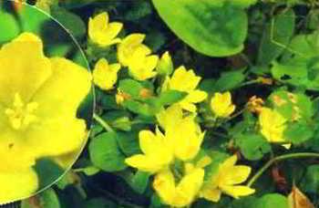 Почвопокровные растения в дизайне сада - вербейник монетчатый