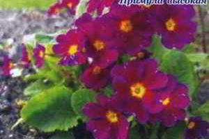 Завораживающая красота первоцветов
