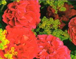 Мелкие зеленовато-желтые соцветия манжетки